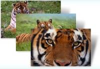 Tigri - tema Windows 7