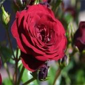 Beautiful Roses Screensaver